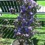 Azalea 'Blue Moon' May'13  (Rhododendron)