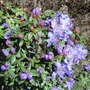 Azalea 'Blue Moon' Again May'13 (Rhododendron)