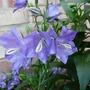 Campanula Persicifolia Blue Bell
