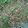 Salvia_microphylla_hot_lips_2013