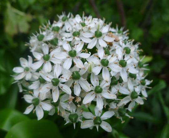 Allium nigrum - 2013 (Allium nigrum)