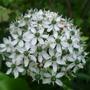 Allium_nigrum_2013