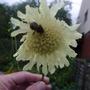Cephalaria_gigantea_2013