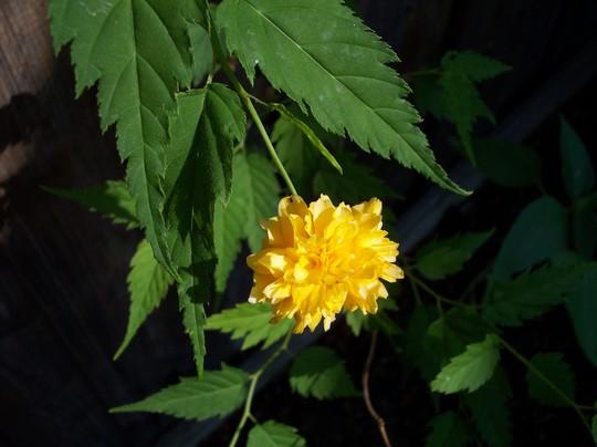 Kerria japonica?