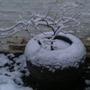 Snow on Acer 'Ariadne'