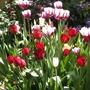 A half barrel full of tulips!