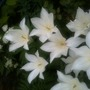 Tulipa 'White Triumphator' closeup