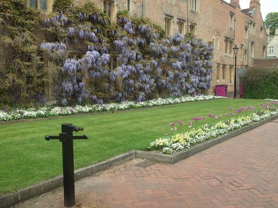 Wisteria in Cambridge City