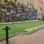 Wisteria_in_cambridge_city