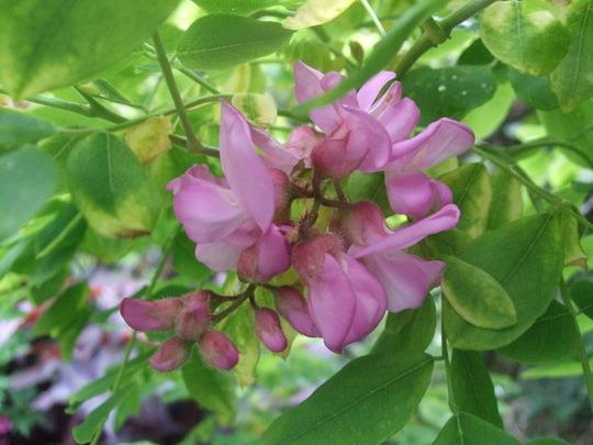 Robinia hispida. (Robinia hispida)