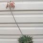 Aloe aristata - flowering