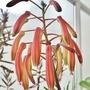 Aloe aristata - flowers