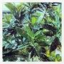 Gold Dusted Croton (Codiaeum variegatum)