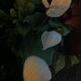 White Anthurium (Anthurium andraeanum)
