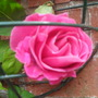 my one and only rose