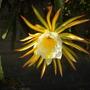 Hylocereus undatus - Dragon Fruit Flowers (Hylocereus undatus - Dragon Fruit)