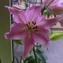 Lilium cv 'Josephine' - A Princess Of Lilies