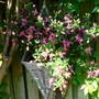 Fuchsia hanging basket