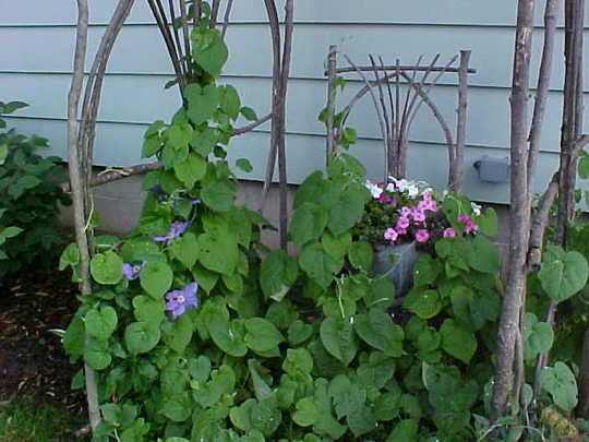 Our twig arbor with clematis and morning glory...