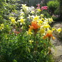 Iris Feu de Ciel, Aquilegia Yellow Queen (Iris germanica (Orris))