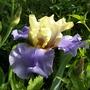 Iris Haut les Voiles (Iris germanica (Orris))
