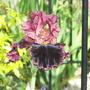 Iris Strozzapreti (Iris germanica (Orris))