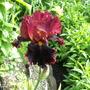 """Strozza"" in a different light (Iris germanica (Orris))"