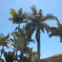 King, Alexander and Royal Palms in Balboa Park, San Diego, CA