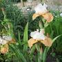Iris Blazing Sunrise (Iris germanica (Orris))