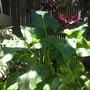 Calla aethiopica 'Hecules'  (Calla aethiopica 'Hecules')