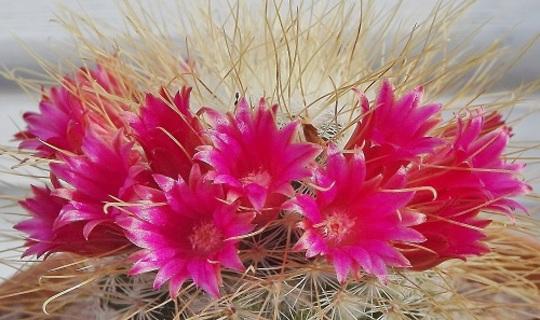 Mammillaria rekoi leptacantha