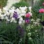 White Iris, Arctic Star (Iris germanica (Orris))