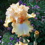 Iris Lace Legacy (Iris germanica (Orris))