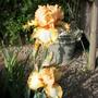 Lacy Legacy (Iris germanica (Orris))