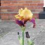 Iris Decadence (Iris germanica (Orris))