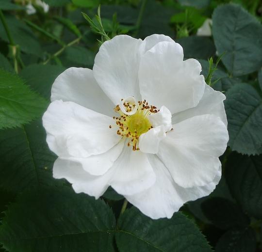 Rosa x alba 'Semi-plena' - 2013 (Rosa x alba 'Semi-plena')