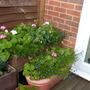 Geraniums, fuchsia and lobelia in containers