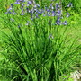 Siberian Iris slow to bloom..blossoms smaller this year.