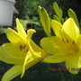 Found these lemon lilies struggling in a shady spot last year...