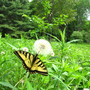 Not many of these this year! (the butterfly not the dandelion, worse luck.)