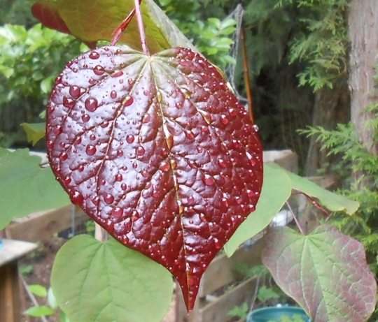 New leaf- Cercis canadensis - Forest Pansy. (Cercis canadensis)