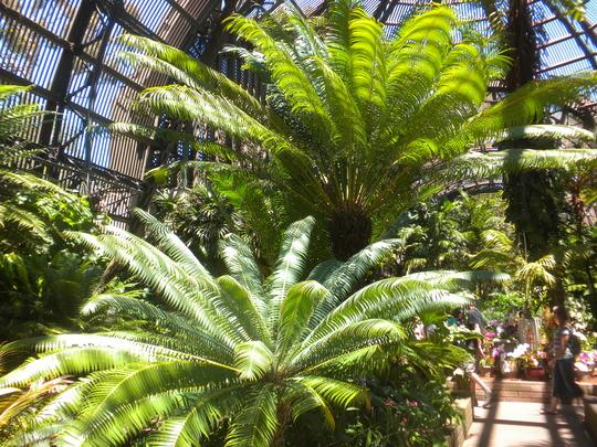 Cycas circinalis  -  Queen Sago Palm (Cycas circinalis  -  Queen Sago Palm)