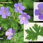 Geraniun himalayense 'Baby Blue' (Geranium himalayense)