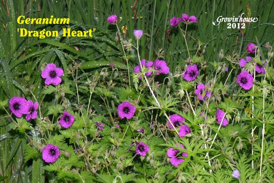 Geranium 'Dragon Heart'