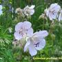Geranium pratense 'Silver Queen'