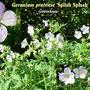 Geranium pratense 'Splish Splash'
