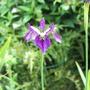 "Iris Sibirica ""Blue Butterflies"" for Lori (Iris sibirica (Siberian iris))"