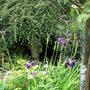 Iris Blue Butterflies (Iris sibirica (Siberian iris))