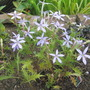 Star flowers Isotoma (Isotoma axillaris (Australian Harebell))