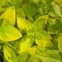 Sweet Marjoram (Origanum majorana (Marjoram))